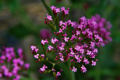 Valerian root reduces anxiety